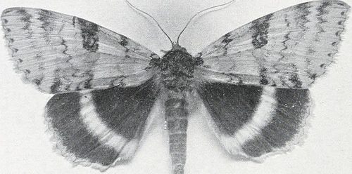 black and white moth photo