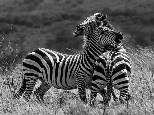 black and white animals fighting photo