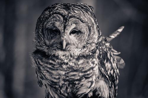 owl black and white photo