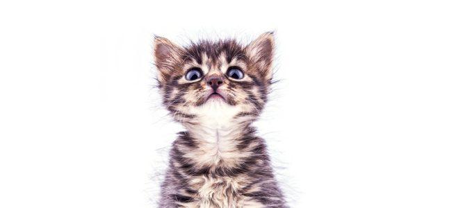 fluffy tabby kitten