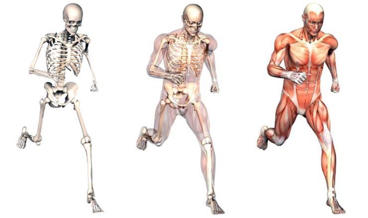 İnsan vücudunun kemik ve iskelet yapısı, Dünya'nın yerçekimine adapte olmak için şekillenmiştir.