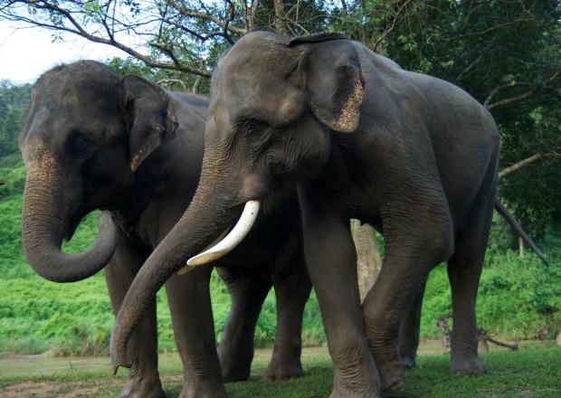 ElephantsintheWildHerman