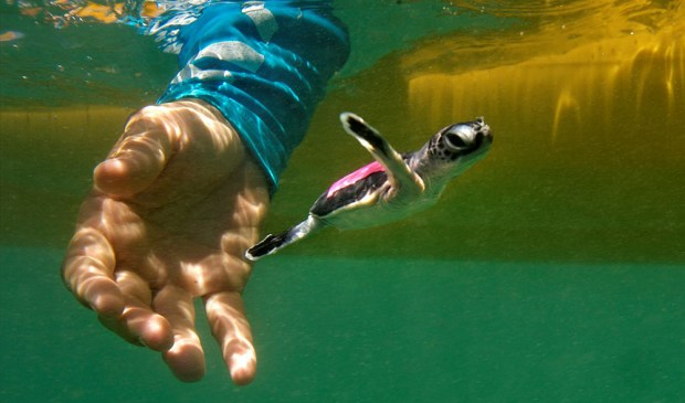 26/February/2013 Western Australia. Exmouth.Hatching turtles tracking research project..Michele Thums..© JOAN COSTA