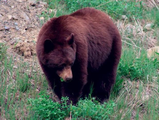 medve