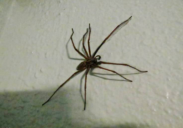 The giant house spiders are back invading our homes after wet start to autumn  Credit: FLickr