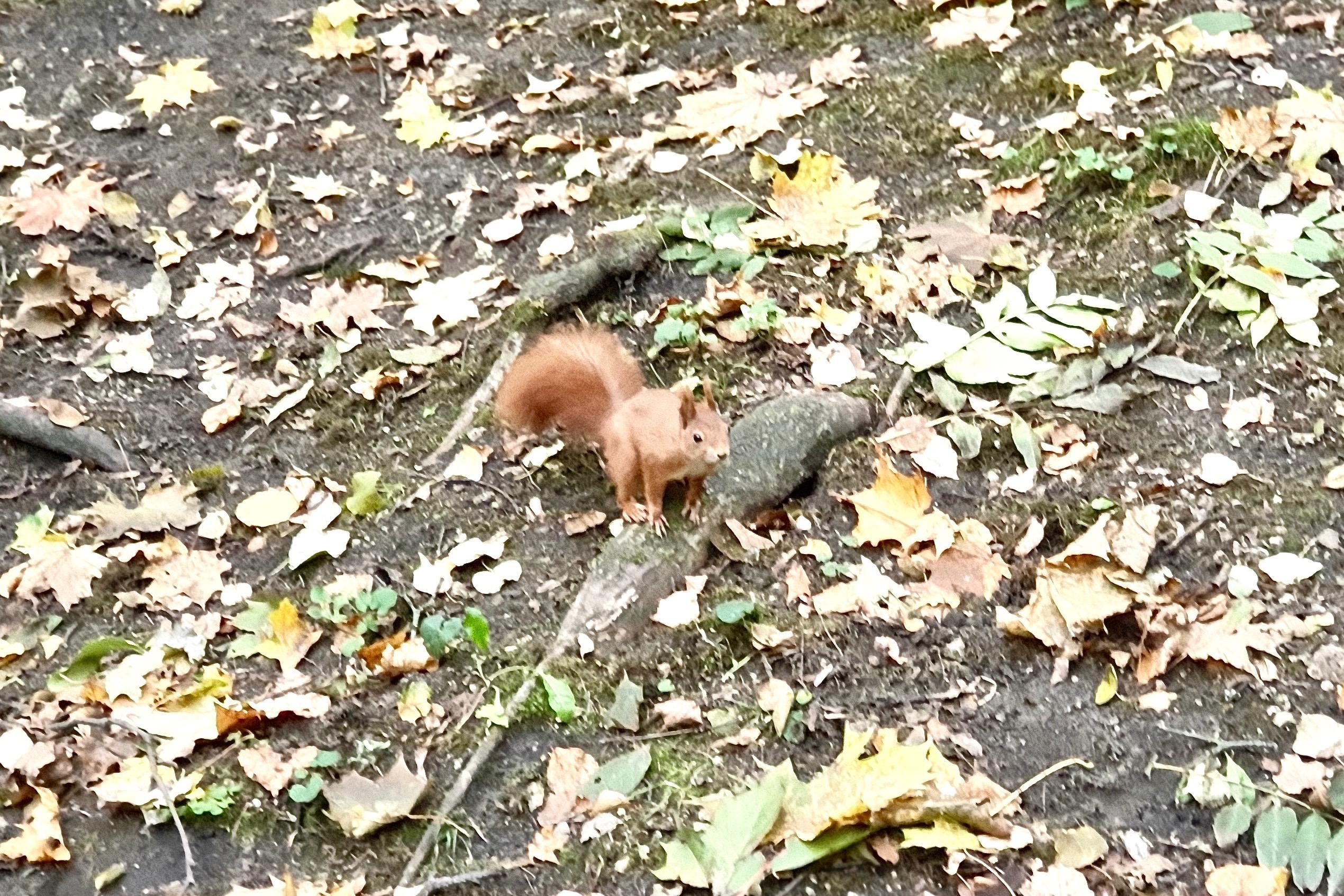 wiewiórka, spacer