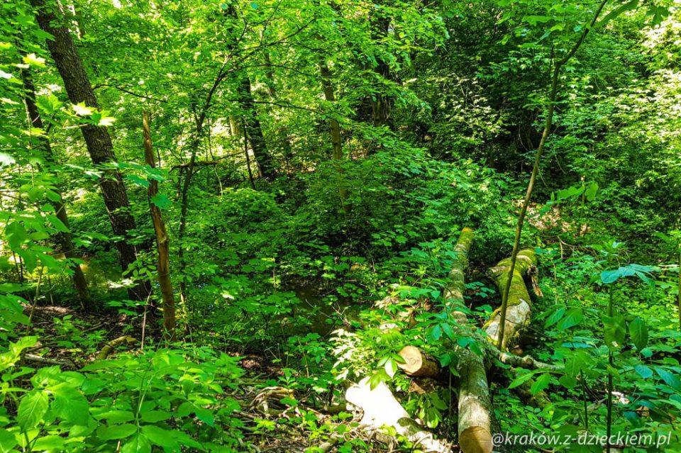 drzewa, las witkowicki