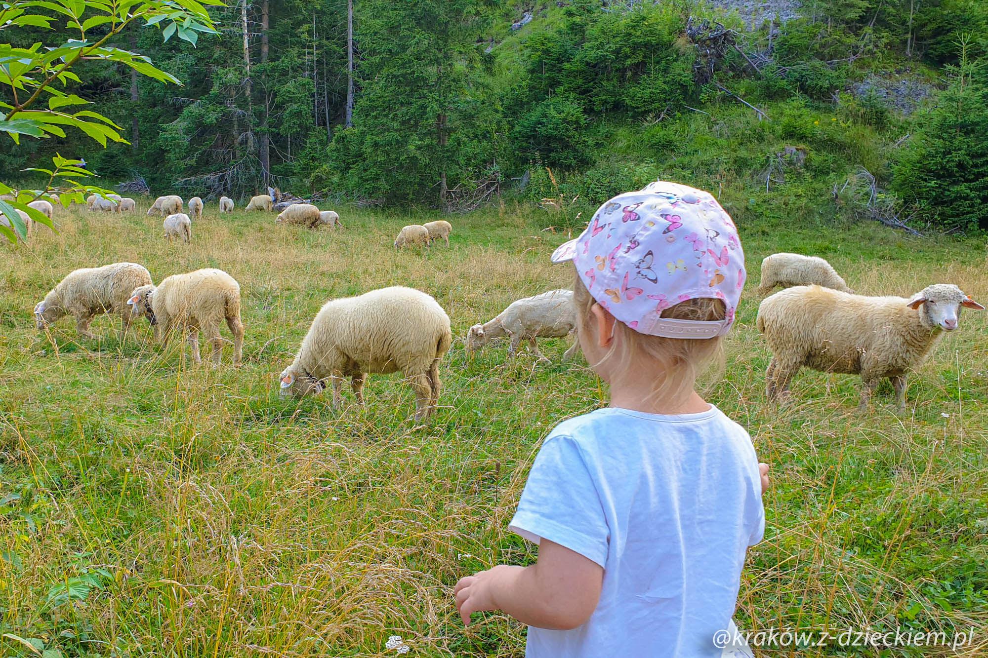 owce w dolinie chochołowskiej