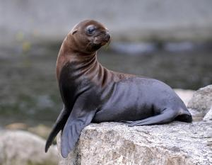 California-Sea-Lion 03
