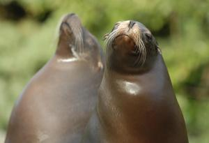 California-Sea-Lion 10