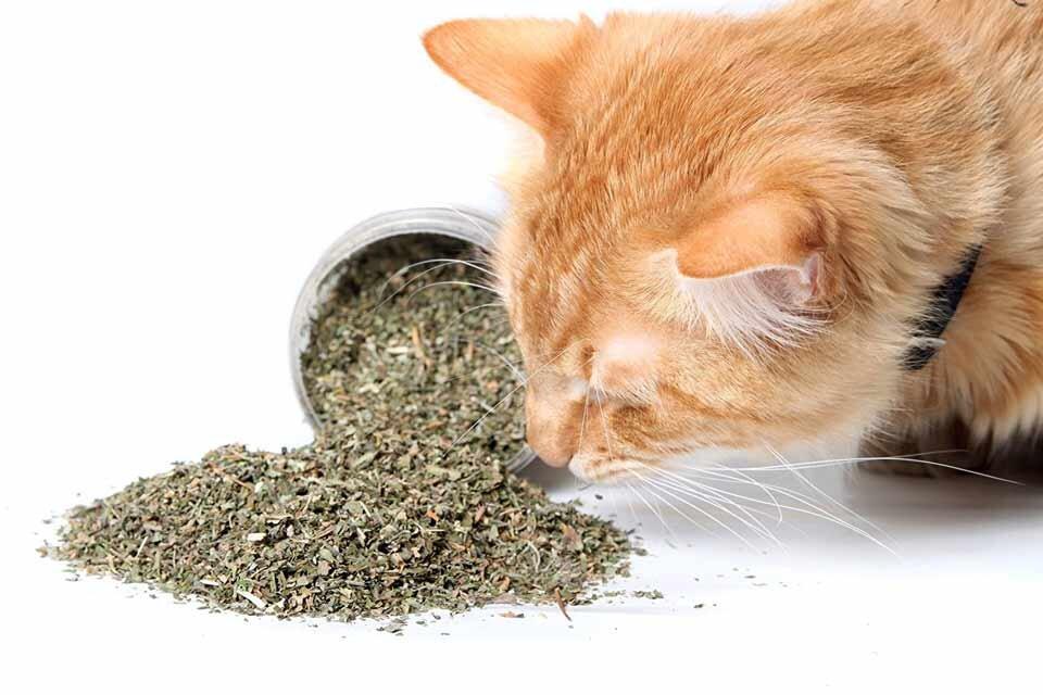 Jak kocimiętka działa na koty?