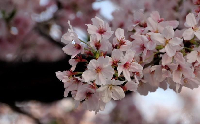 Japan (2017) – Zeit der Kirschblüte