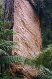 Trees - 0008 - Tasmania