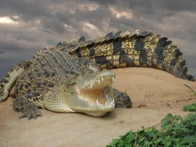 Saltwater Crocodiles: A Long Lost Residents of the Seychelles ...