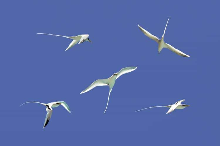The Fairy Tern Bird