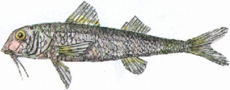 Барабулька-султанка