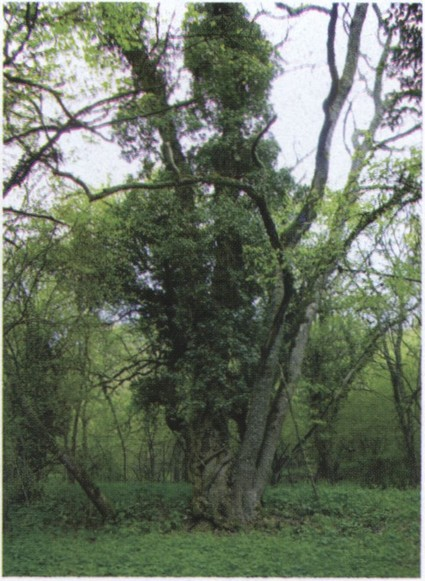 Старый лес на руинах деревни Ласпи. Фото автора