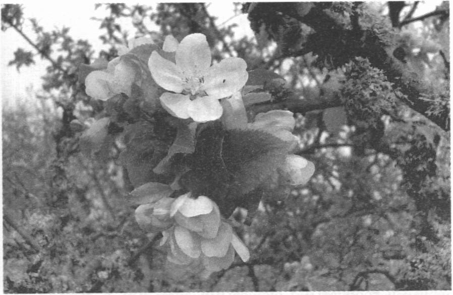Цветет дикая груша. Апрель