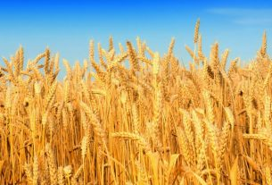 wheat-images