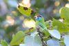 Blue Cheeked Barbet