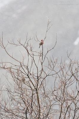 Greater Rosefinch