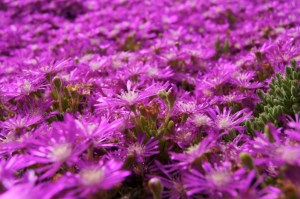 Photograph of Iceplant with fuschia flowers.