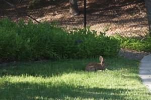 Photo of a rabbit munching on grass.