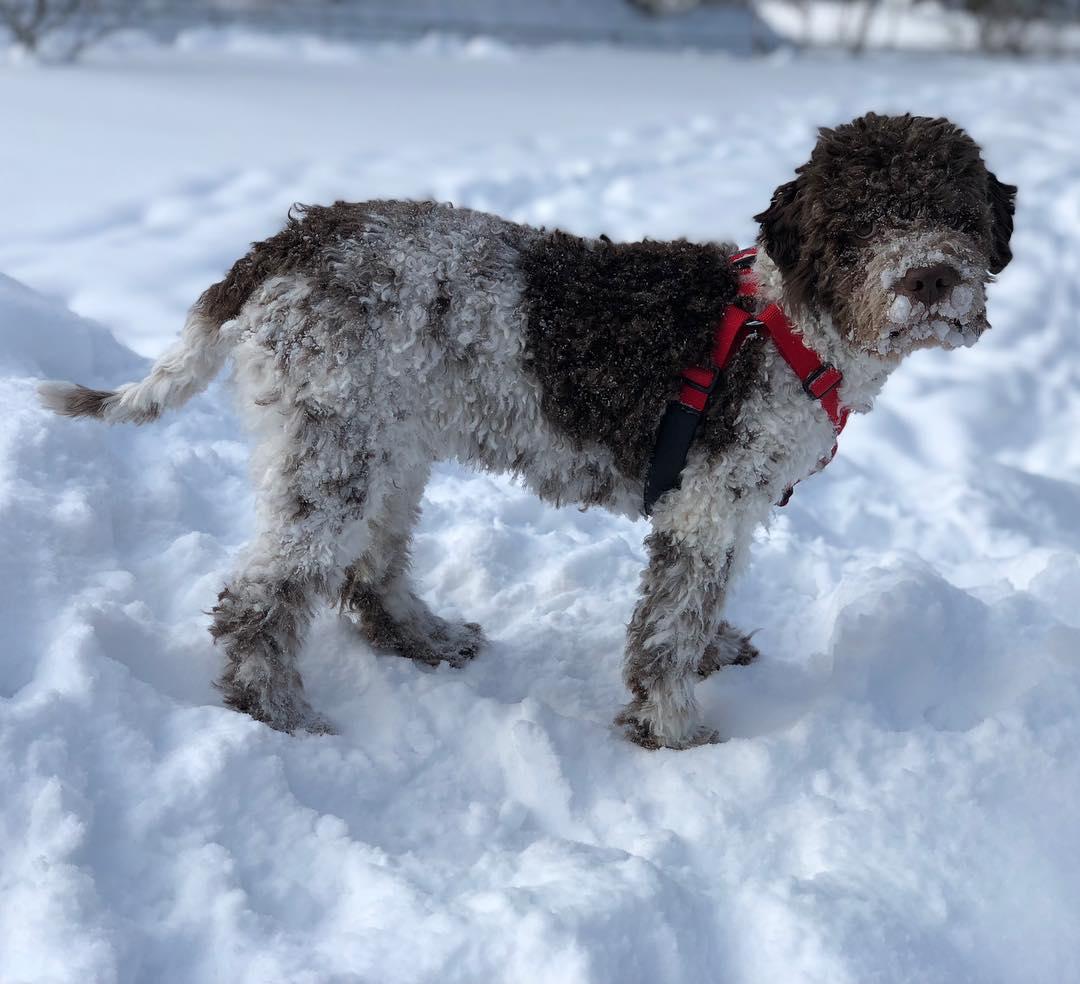 And I like snow. Period.  #pappajagvillhaenitalienare #maclagotto #lagottoromagnolo #lagottosofinstagram #lagottopuppy #lagottolove #lagottostyle #lagottos #lagottodogs #lagottoromagnolos #lagottoboy #svärdsjö #dalarna #sweden #dog #dogs #dogsofinstagram #dogsofinsta @knappare @mingming_05