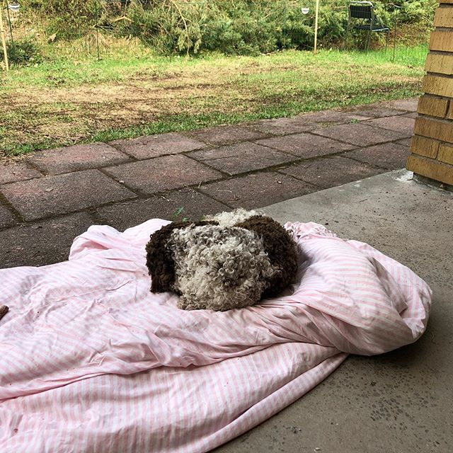 My mum's left me all alone with dad. On a Saturday??!! I will protest all day long. Not fair play! #lagottoromagnolo #lagotto #dogs #lagottos #lagottosofinstagram #lagottopuppy #lagottolove #lagottostyle #lagottodogs #lagottoromagnolos #lagottoboy #svärdsjö #dalarna #sweden #dog #dogsofinstagram #dogsofinsta  #pappajagvillhaenitalienare #maclagotto @knappare @mingming_05