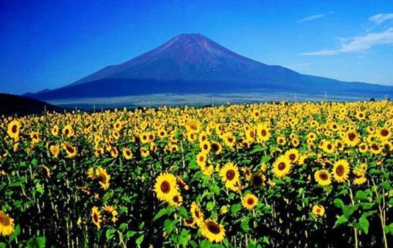 Sunflowers in Badlands