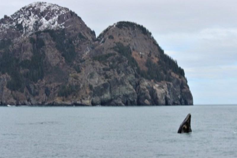 Alaska Grey Whale Breaching 2