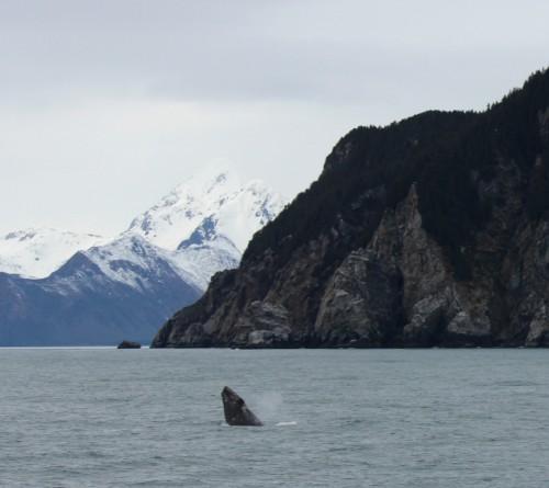 Alaska Grey Whale Breaching