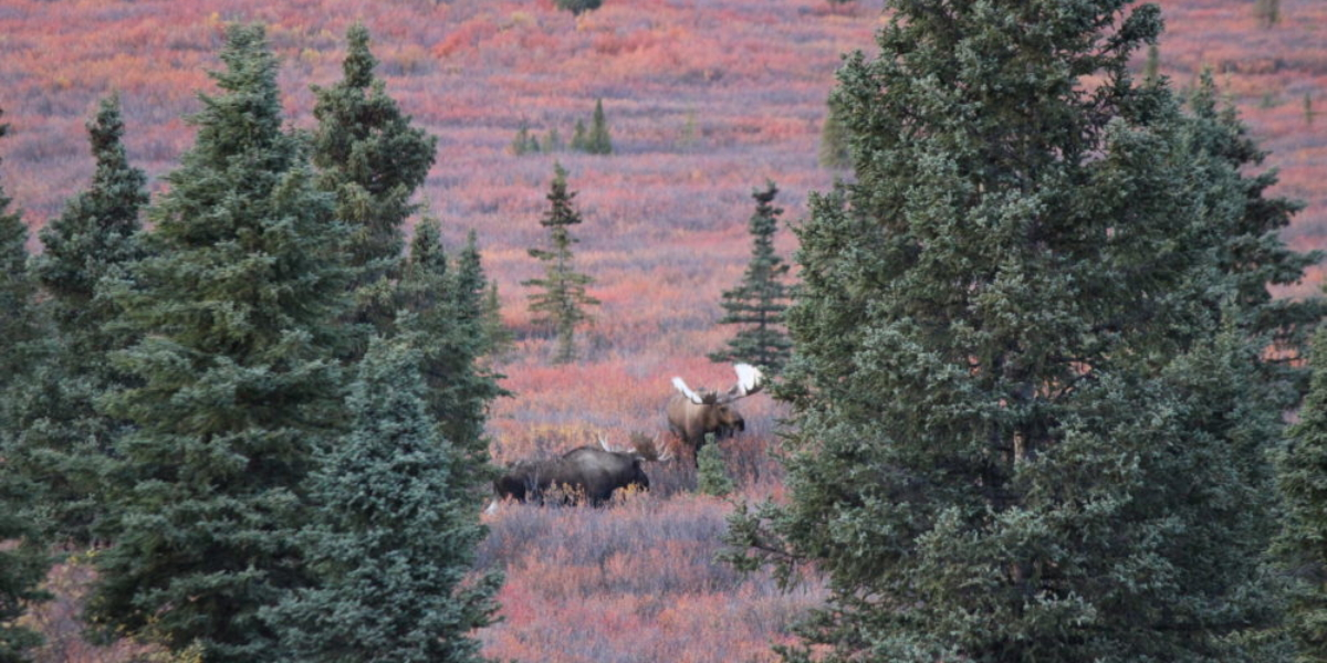 2 Moose in Denali