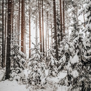 Snowy trees in Estonia