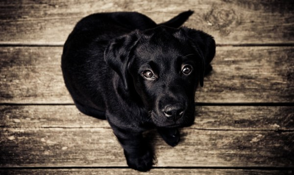 puppy, dog, black lab