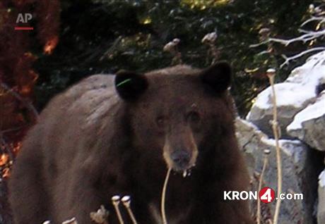 Tahoe-bear--_226487