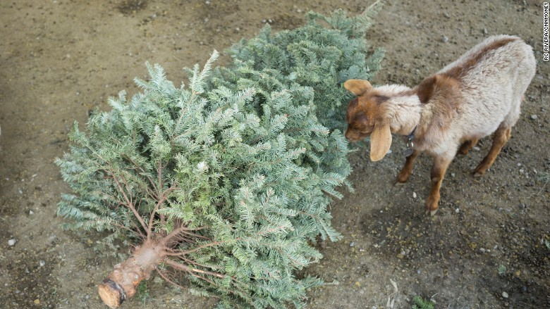 goats eat trees (CNN)_294880