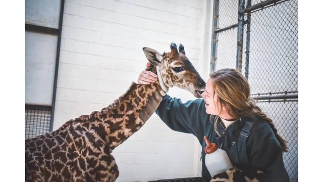 giraffe zoo_1541262692539.jpg_61064640_ver1.0_640_360_1541269182405.jpg.jpg
