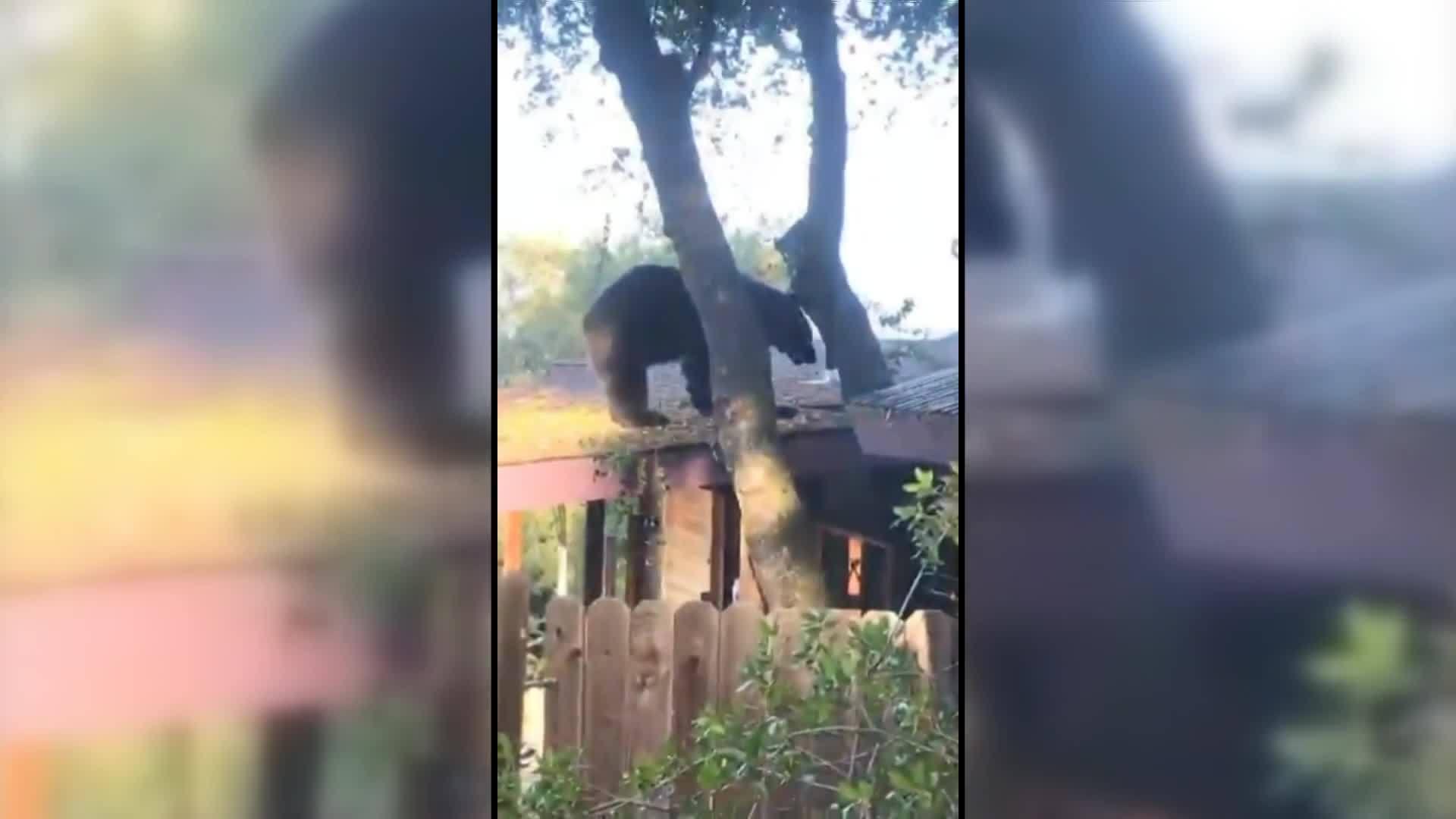 Oakhurst bear on roof