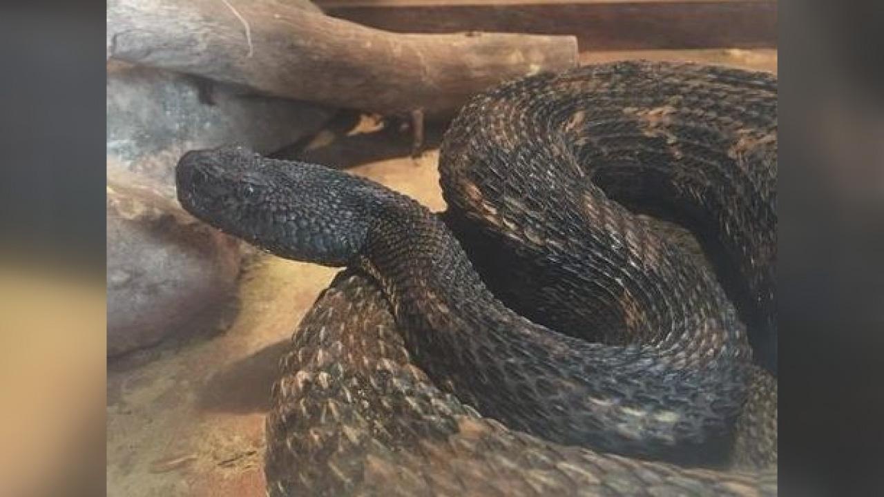 17 rattlesnakes