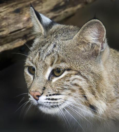 Zoo Escaped Bobcat_517048