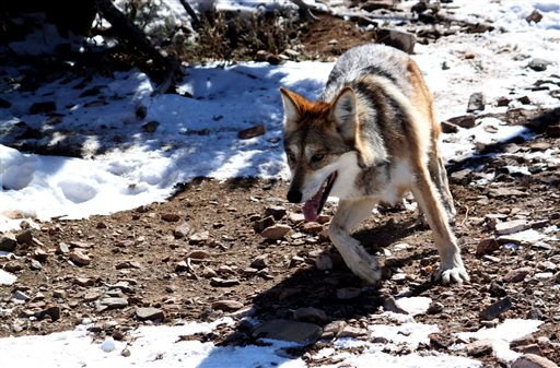 Mexican Gray Wolf_329121