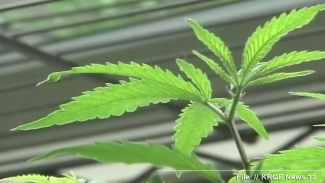 stockimg marijuana plant; close-up generic_1520126331939