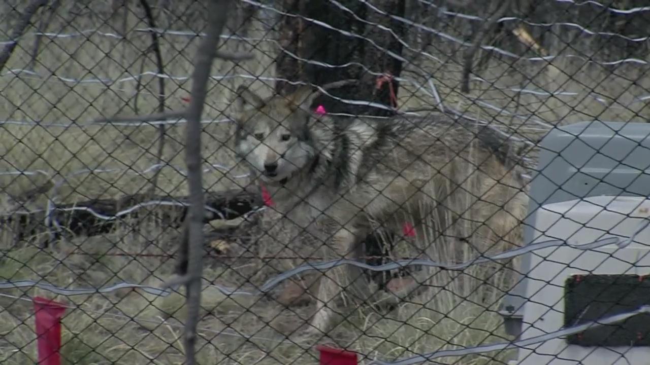 gray wolf_1549154390627.jpg.jpg