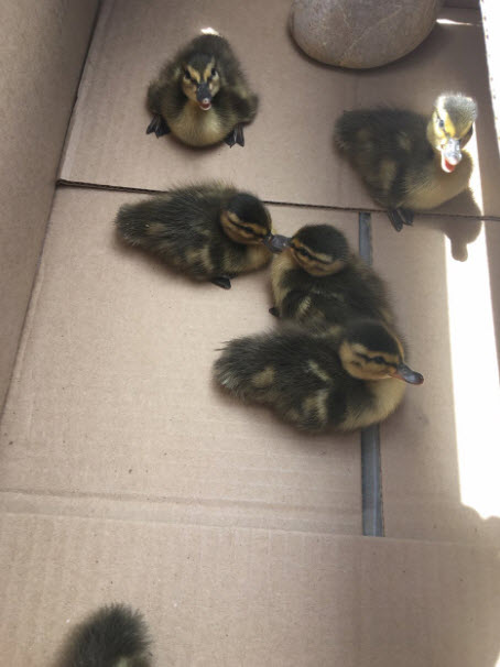Ducks 1_1556745782231.jpg.jpg