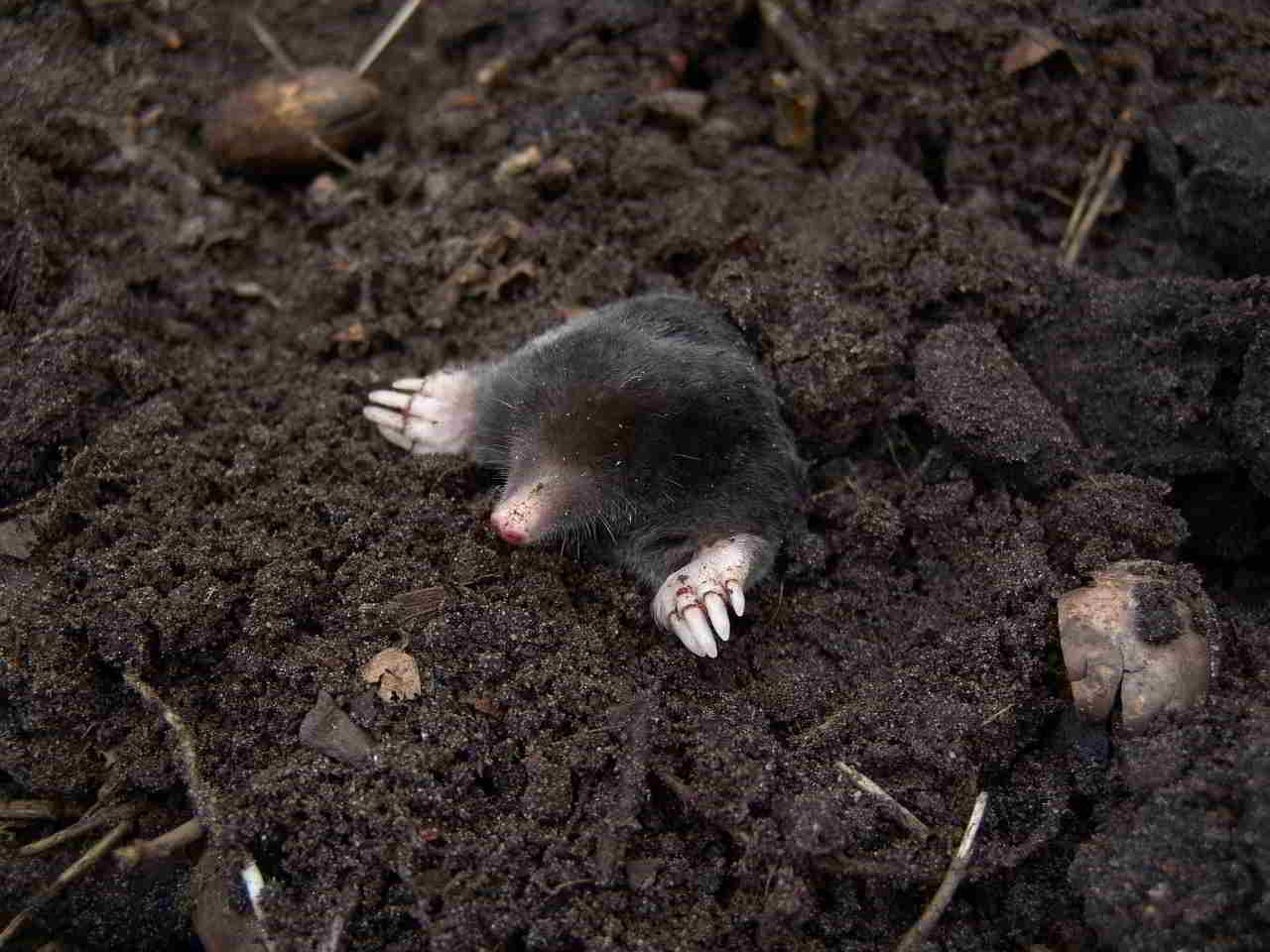 mole-13298_1280