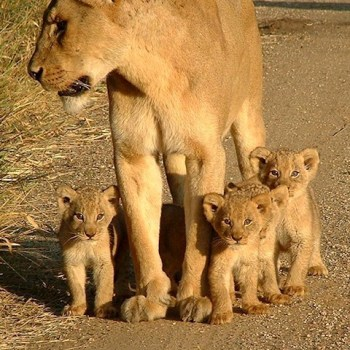 Manyatta Rock Camp Lions