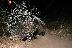 Manyatta Rock Camp Night Safari Porcupine