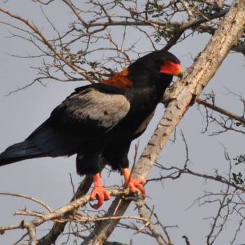 Monwana Game Lodge Bateleur Eagle