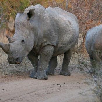 Thornybush Game Lodge Rhinos